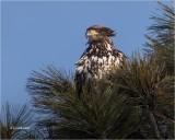 Bald Eagle (2 year old)