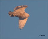 Snowy Owl (last  light of the day)