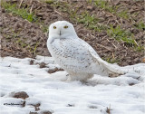 Snowy Owl ( found this guy yesterday in one of the last patches of snow.)