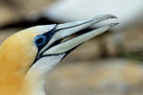 Gannet at Cap Kidnappers, New Zealand.