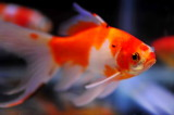 Aquarium Fish-Gold Fish/Shubunkin