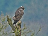 Harlan's Red-tailed Hawks