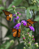 Monarchs and liatris ligulistylis IMGP7423a.jpg