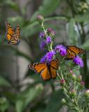 Monarchs and liatris ligulistylis IMGP7420a.jpg