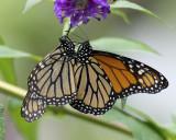 Monarhs mating IMGP7101a.jpg