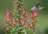 Hummingbirds, Lobelia Cardinalis and Monarda