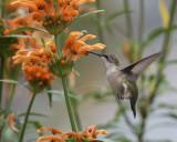 Hummingbirds, Cupheas and Leonotis Leonurus 2017