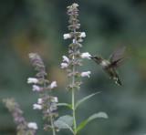 Hummingbirds and Salvias 2017