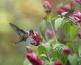 Hummingbirds and Justicias (Shrimp Plants) 2017