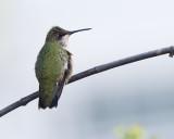2017 Hummingbirds