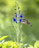 2018 Hummingbirds and Blooms