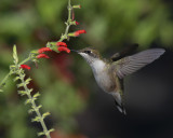 Hummingbirds... and Blooms That Attract Them
