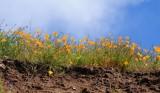 Poppies - Point Mugu State Park