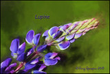 pining for lupine
