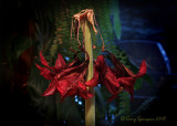 amaryllis in decline