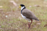 Masked Lap-winged Plover
