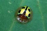 Chiridoposis bowringi 條點溝龜甲