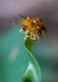 Aspidomorpha furcata 甘薯梳龜甲