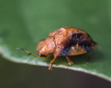 Laccoptera quadrimaculata 甘薯臘龜甲