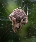 Spider ? species