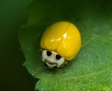 Ladybird Beetle 素瓢蟲