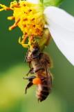 A crab spider strangulating a honey bee