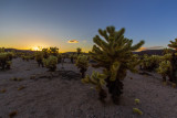 Last Light Cholla Garden