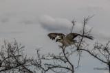 Western Osprey  (Pandion haliaetus)