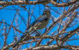 The California Scrub Jay (Aphelocoma californica)
