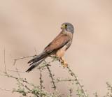Falconidae (family): 7 species