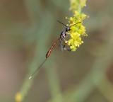 Gasteruptiidae (family) - 1 species