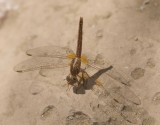 Libellulidae (family of dragonflies): 15 species