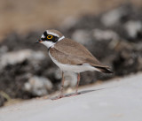 Charadriidae - plovers (family): 14 species