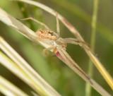 Philodromidae (family): 1 species