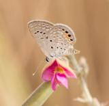 3.Chilades trochylus (Freyer, 1845) - Grass Jewel