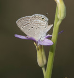 1. Chilades parrhasius (Fabricius, 1793) - Indian Cupid