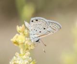 2. Azanus ubaldus (Stoll, 1782) - Desert Babul Blue