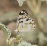 Pieridae - Whites (family of butterflies): 7 species