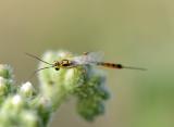 Ichneumonoidea (family of wasps): 1 species