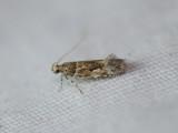 Cosmopterigidae (family): 2 species