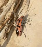 2. Spilostethus longulus (Dallas, 1852)