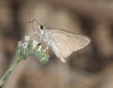 Hesperiidae - Skippers (family of butterflies): 3 species