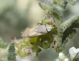 Calliphoridae - Blow Flies (family): 4 species