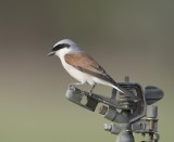 1. Red-backed Shrike - Lanius collurio