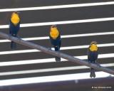 :Yellow-headed Blackbird:
