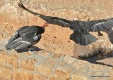 California Condors Feb 2018