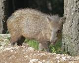 Mammals -Collared Peccary