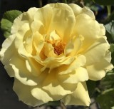 Yellow Domestic Rose