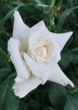 White Domestic Rose