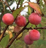 Autumn Scene: Plums